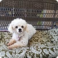Adopt A Pet :: Maddison - San Dimas, CA
