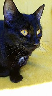 Domestic Shorthair Cat for adoption in Hornell, New York - Spacely