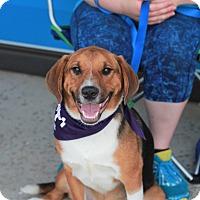 Adopt A Pet :: Hervil (SPONSORED) - Springfield, MO