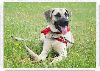 Anatolian Shepherd/Shepherd (Unknown Type) Mix Dog for adoption in Sacramento, California - ADOPTION PENDINGloves people