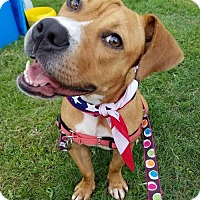 American Pit Bull Terrier/American Staffordshire Terrier Mix Dog for adoption in Colonial Heights, Virginia - Happy