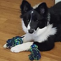 Adopt A Pet :: Gidget - Allen, TX