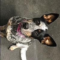 Adopt A Pet :: ACD Gypsy - Remus, MI