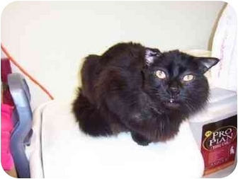 Domestic Longhair Cat for adoption in San Diego/North County, California - Magic