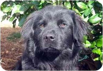 Flat-Coated Retriever Mix Dog for adoption in Mobile, Alabama - Rhett
