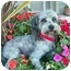 Photo 1 - Lhasa Apso/Poodle (Miniature) Mix Dog for adoption in Los Angeles, California - QUENTIN