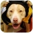 Photo 3 - American Pit Bull Terrier Mix Dog for adoption in Bakersfield, California - Cookie