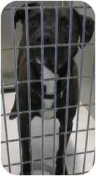 American Pit Bull Terrier Mix Dog for adoption in Kansas City, Missouri - Don Quixote