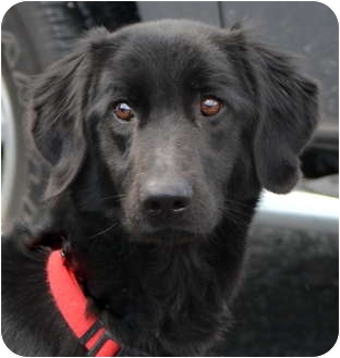 Irish Setter/Labrador Retriever Mix Dog for adoption in Warren, Ohio - Boo