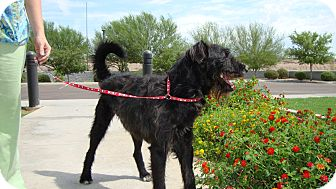 Schnauzer (Giant)/Terrier (Unknown Type, Medium) Mix Dog for adoption in Phoenix, Arizona - Bentley
