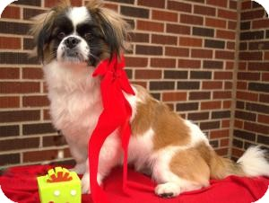 Cavalier King Charles Spaniel/Pekingese Mix Dog for adoption in Dallas, Texas - Petey
