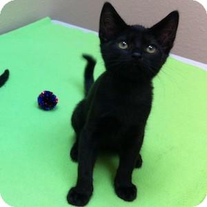 Domestic Shorthair Kitten for adoption in Gilbert, Arizona - West