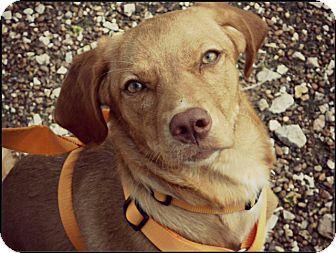Weimaraner/Labrador Retriever Mix Puppy for adoption in Bedminster, New Jersey - Sadie