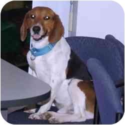 Beagle Mix Dog for adoption in Batavia, Ohio - Bud E. Beagle