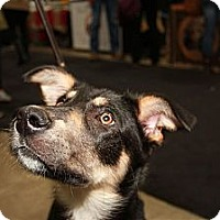 Adopt A Pet :: Scamp - Surrey, BC