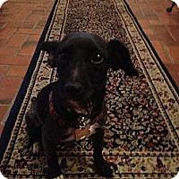 Adopt A Pet :: Gil - Mt Gretna, PA