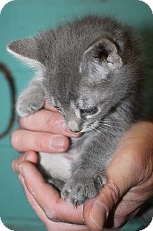 Domestic Shorthair Kitten for adoption in Grass Valley, California - Ruby
