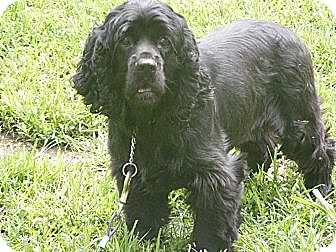 Cocker Spaniel Dog for adoption in Toledo, Ohio - Ace