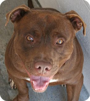 Pit Bull Terrier Mix Dog for adoption in Waterbury, Connecticut - Dale