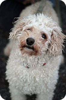 Bichon Frise Mix Dog for adoption in Tinton Falls, New Jersey - Lilly