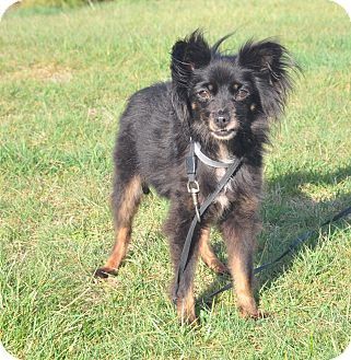 Chihuahua/Papillon Mix Dog for adoption in Tumwater, Washington - Melli