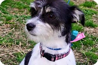 Terrier (Unknown Type, Small) Mix Dog for adoption in Reynoldsburg, Ohio - Solo