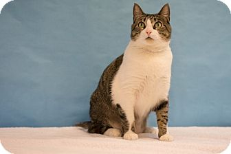 Domestic Shorthair Cat for adoption in Houston, Texas - Beyonce