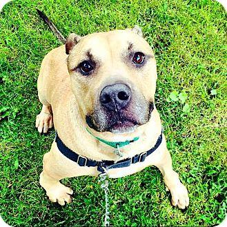 Pit Bull Terrier/Shepherd (Unknown Type) Mix Dog for adoption in Oak Park, Illinois - Tank