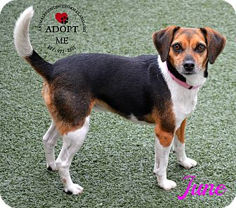 Beagle Mix Dog for adoption in Youngwood, Pennsylvania - June