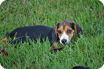 Beagle Puppy for adoption in Pikeville, Maryland - Hunter