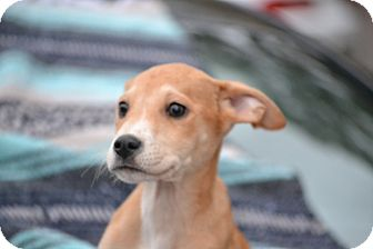 Labrador Retriever/Great Dane Mix Puppy for adoption in Pikeville, Maryland - Tiny Tim