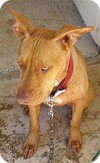 American Pit Bull Terrier Mix Dog for adoption in San Antonio, Texas - Medina