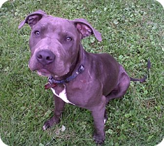 Pit Bull Terrier Puppy for adoption in Bloomington, Illinois - Bruno Mars
