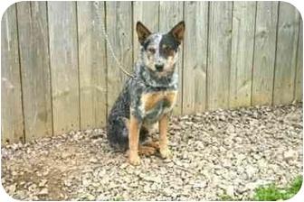 Australian Cattle Dog Mix Dog for adoption in Muldrow, Oklahoma - TOM