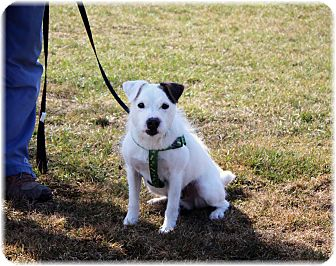 Jack Russell Terrier Mix Dog for adoption in Welland, Ontario - Rocket