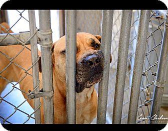 Mastiff/Boxer Mix Dog for adoption in Zanesville, Ohio - Emily - ADOPTED!