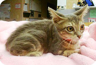 Domestic Shorthair Kitten for adoption in Lauderhill, Florida - Bananas