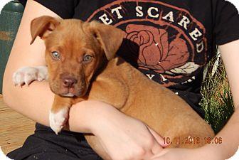 German Shepherd Dog/English Bulldog Mix Puppy for adoption in Burlington, Vermont - Wrangler (8 lb) Video!