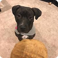 Adopt A Pet :: Diamond - Northville, MI