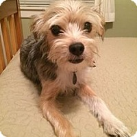 Adopt A Pet :: Scruffy - Salem, OR
