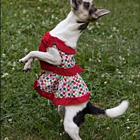 Chihuahua Dog for adoption in Hedgesville, West Virginia - Maddie