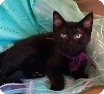 Domestic Shorthair Kitten for adoption in Ronkonkoma, New York - Stormy