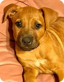 American Staffordshire Terrier Mix Puppy for adoption in San Diego, California - Apple