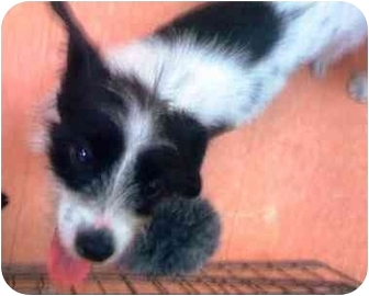 Terrier (Unknown Type, Small) Mix Dog for adoption in Tarzana, California - Spot