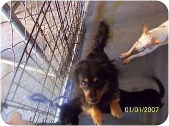Dachshund/Chihuahua Mix Dog for adoption in Longview, Washington - Bambam