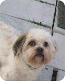 Shih Tzu Mix Dog for adoption in Ile-Perrot, Quebec - STICKER