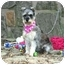 Photo 3 - Schnauzer (Miniature) Dog for adoption in Muldrow, Oklahoma - Dorothy