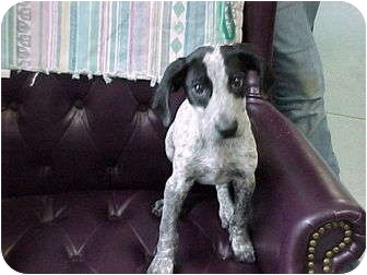 Bluetick Coonhound Puppy for adoption in Beacon, New York - Webster