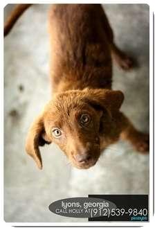 Labrador Retriever/Irish Setter Mix Puppy for adoption in Bel Air, Maryland - Sam