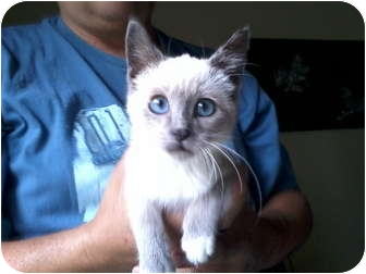 Siamese Kitten for adoption in Rosemount, Minnesota - Ava